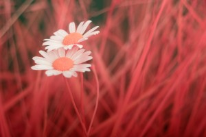 photo-infrarouge-photographie-infrared-simonlefranc-raphaele-goujat-7